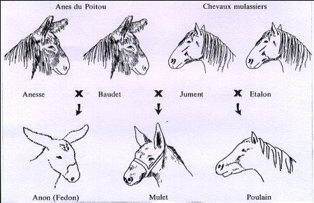 """Ane Baudet le baudet du poitou : la """" rolls-royce """" des ânes"""